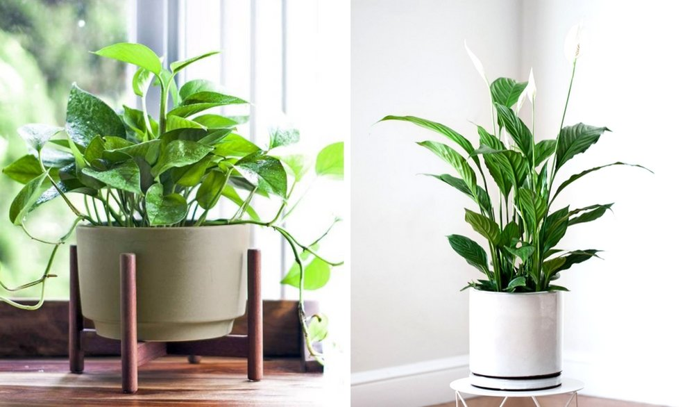 Left photo:  Cascading Pothos  right photo:  Peace Lily