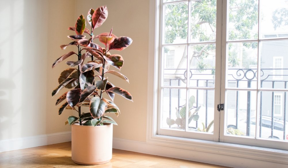 Limited edition Pink Rubber tree  by Léon & George