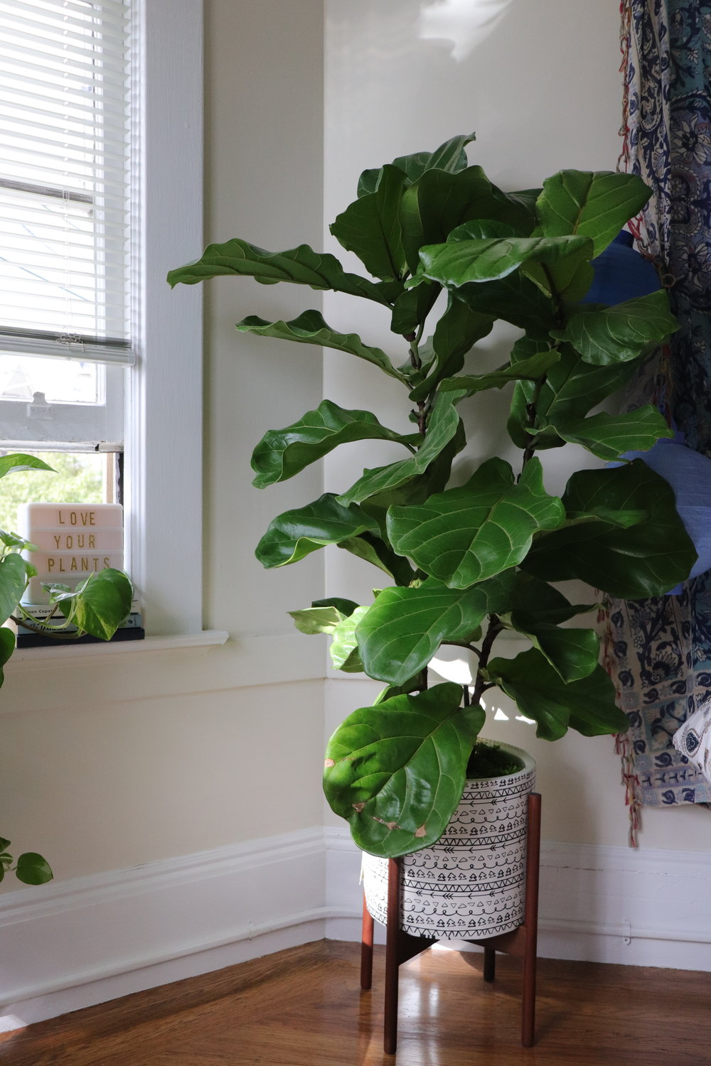 Fiddle leaf fig watering guide
