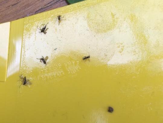 Yellow sticky traps, photo credit:  @j.l.perrone