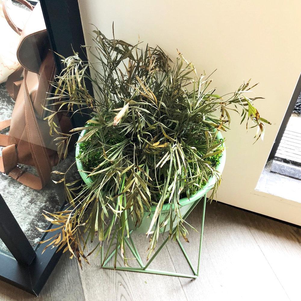 Sad Parlor Palm
