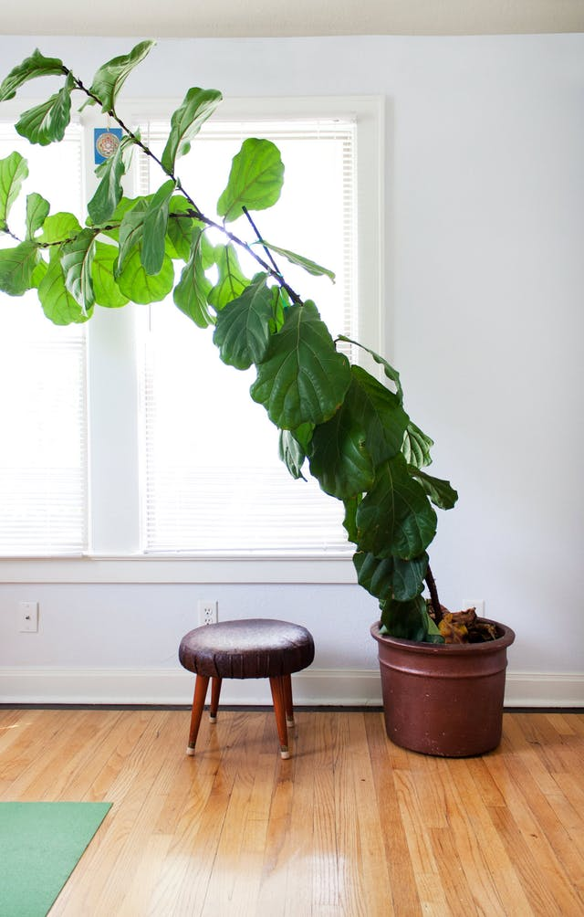 Leaning Fiddle Leaf Fig, photo credit:  apartmenttherapy.com
