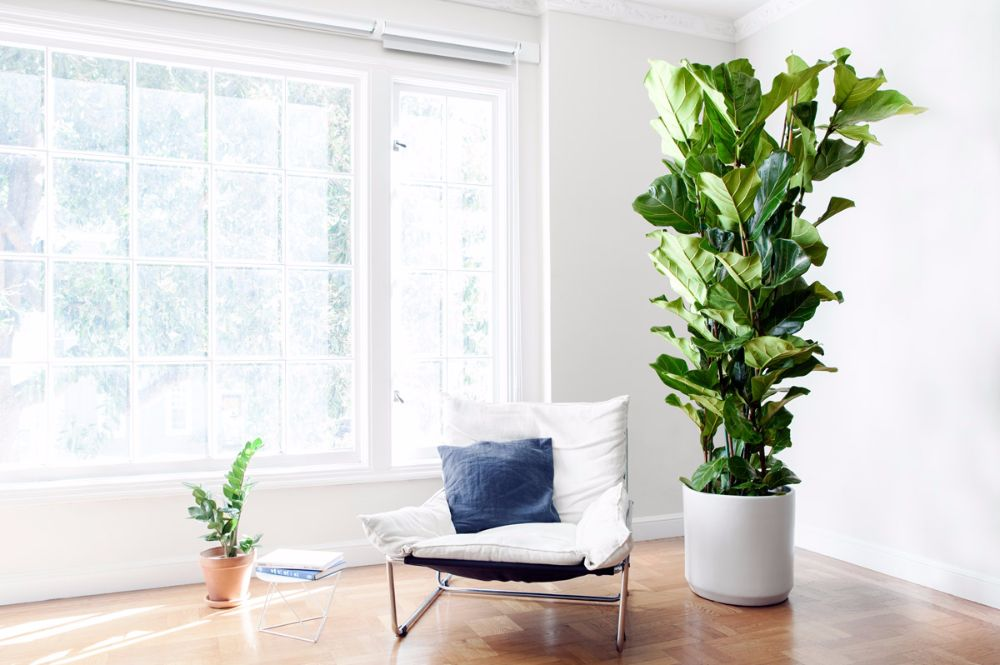 FIDDLE LEAF FIG COLUMN - A lush and sculptural plant with elegant violin-shaped leaves, the Fiddle Leaf Fig Column is the most voluptuous amongst the Fiddle family and makes for a dramatic addition to any indoor space.5-6ft tall with ceramic pot: $499Delivery included in SF & LA