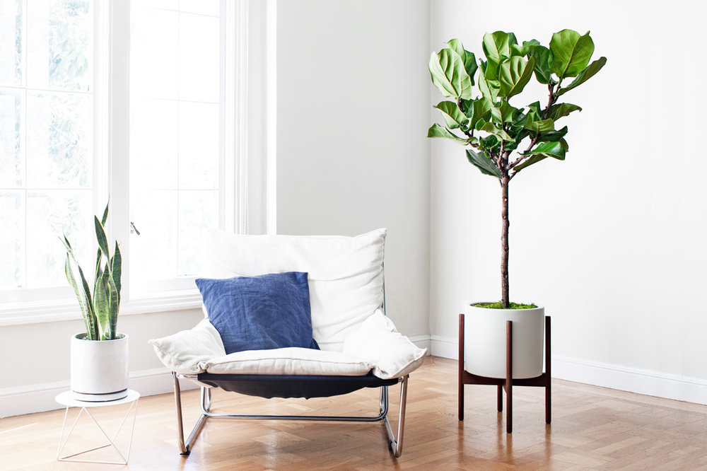 JUNIOR FIDDLE LEAF FIG TREE - A lush and sculptural plant with elegant violin-shaped leaves, the Junior Fiddle Leaf Fig Tree makes for a dramatic addition to any indoor space – truly a must-have for all who appreciate style and greenery.4ft tall plant with ceramic pot and reclaimed wood stand: $299Delivery in SF & LA included