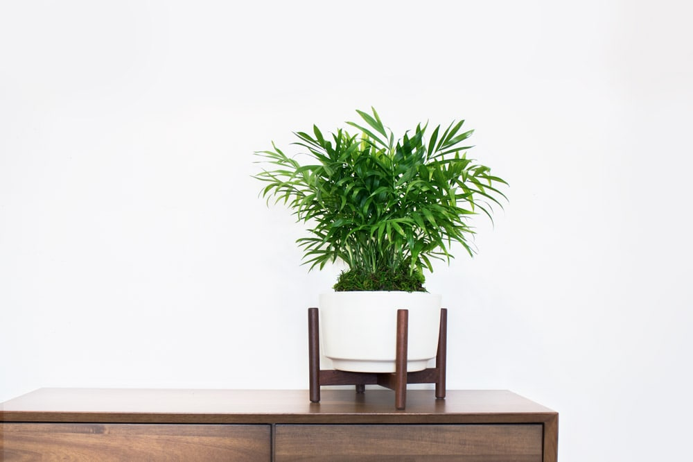 PARLOR PALM - Brings instant style and summer feels all year-round. It's easy to care for and does well in low light. This popular indoor houseplant makes for a perfect gift or starter plant, and sits well as an accent on any desk or shelf.1 ½ft tall plant with ceramic pot and reclaimed wood stand: $139Delivery included
