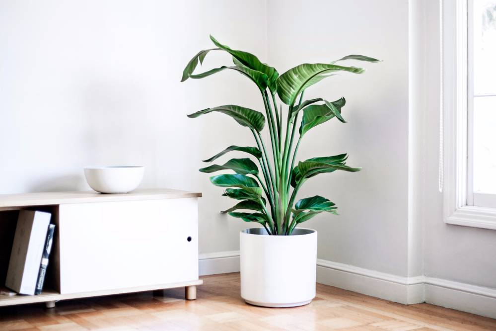 BIRD OF PARADISE - A popular indoor plant for creating that instant jungle atmosphere.3-4ft tall in white ceramic planter: $299