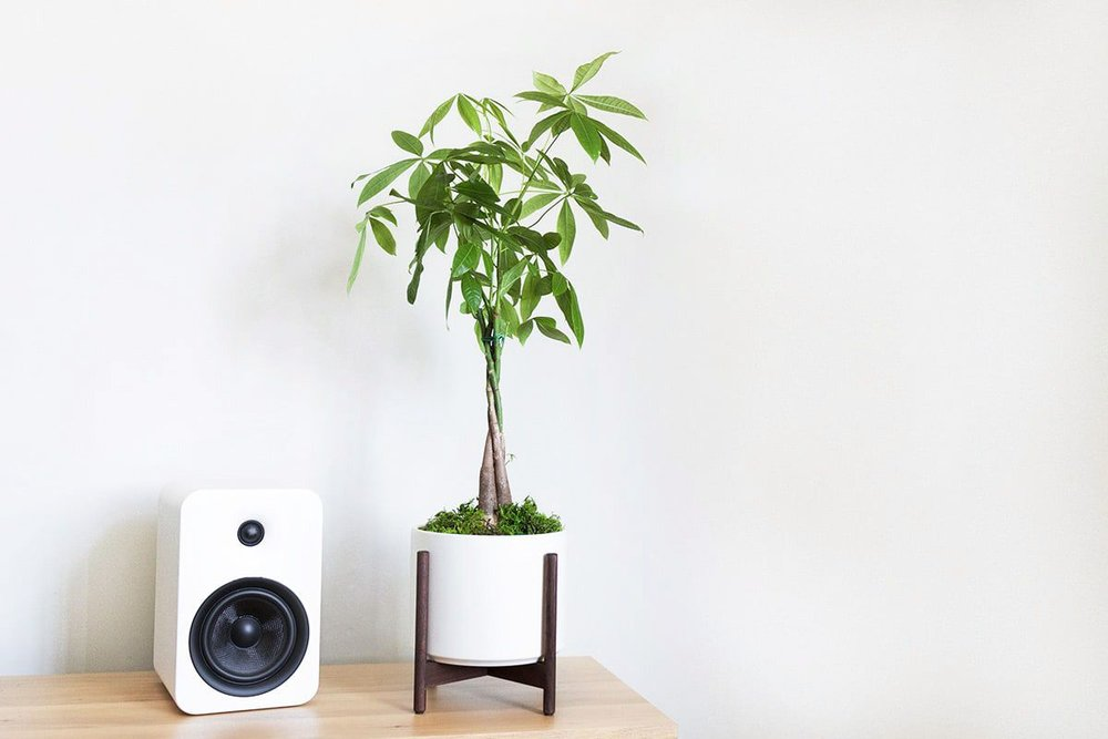 MONEY TREE - Considered a powerful symbol of good luck and prosperity. It has a meticulously-braided trunk under a beautiful canopy of leaves which expand with time.1 ½ft tall with pot & stand: $139