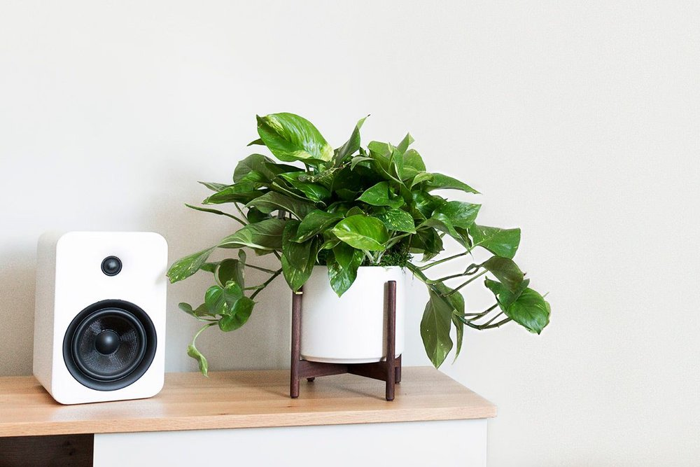 CASCADING POTHOS - An easy-care planta with smooth and leathery heart-shaped leaves.1 ½ft tall with ceramic & wood stand: $139