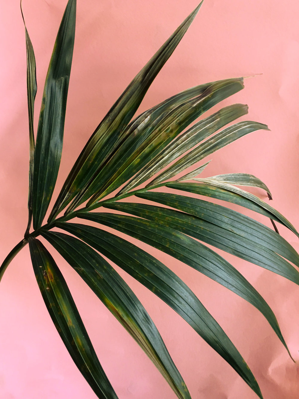 Kentia Palm and yellowing leaves