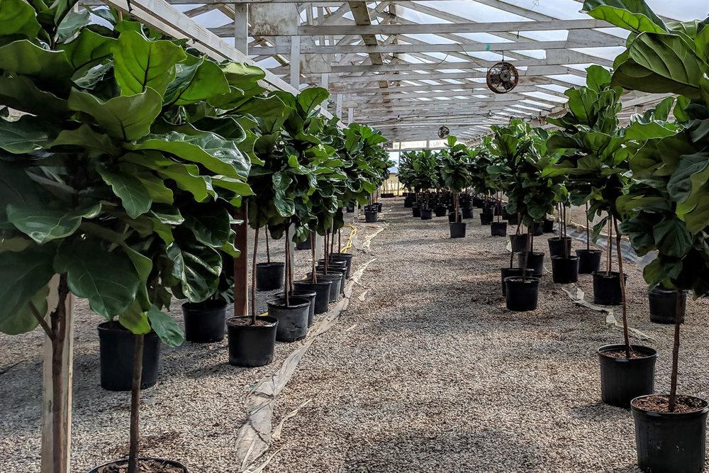 fiddle-greenhouse.jpg