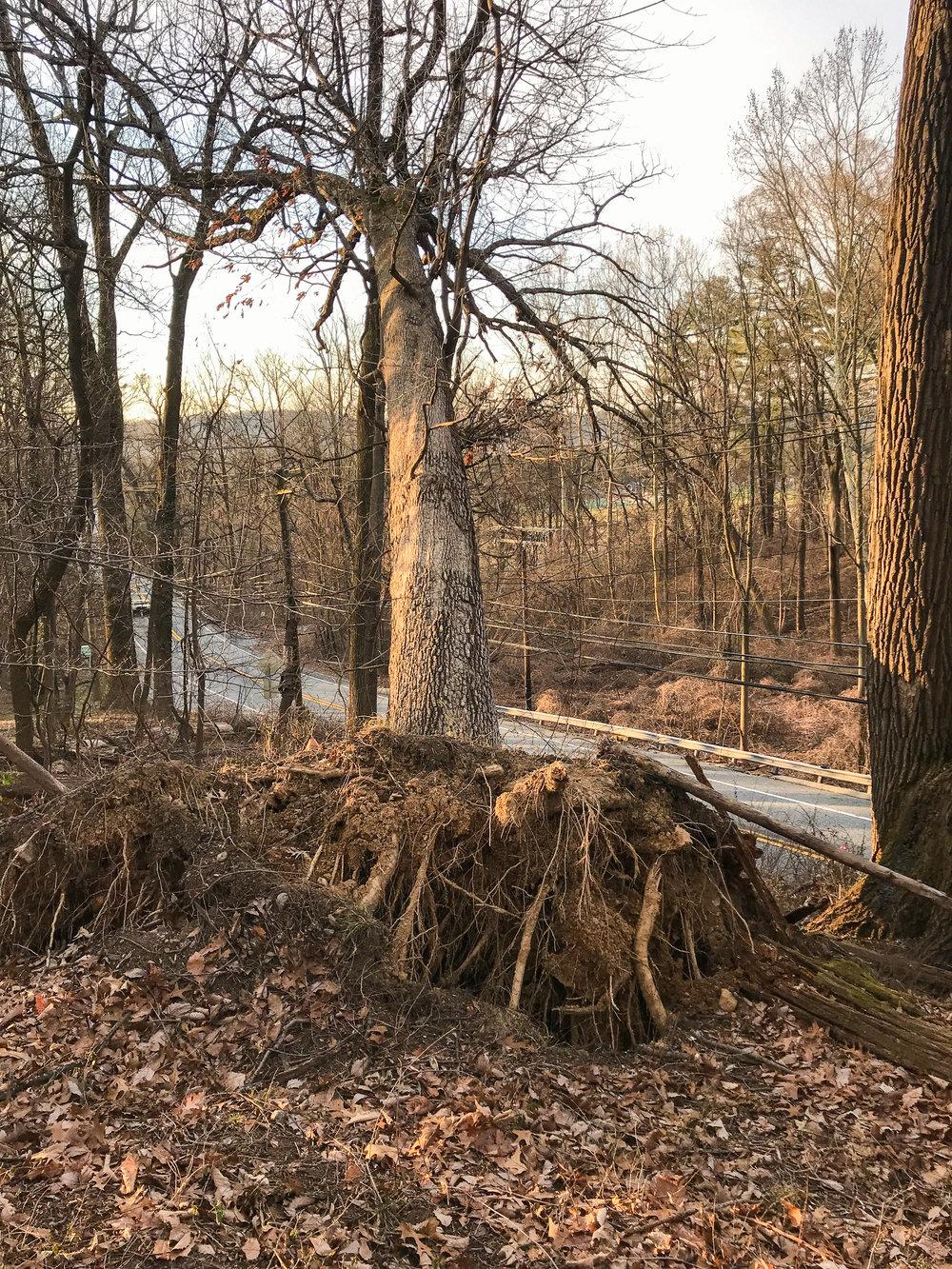 white oak bge emergency removal 3 (falls rd)-1.jpg