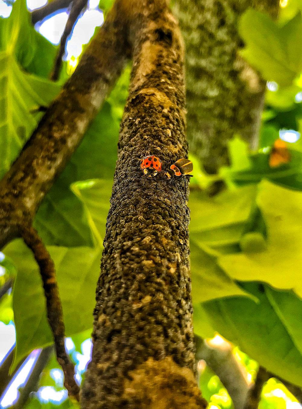 ladybug beetle-2.jpg