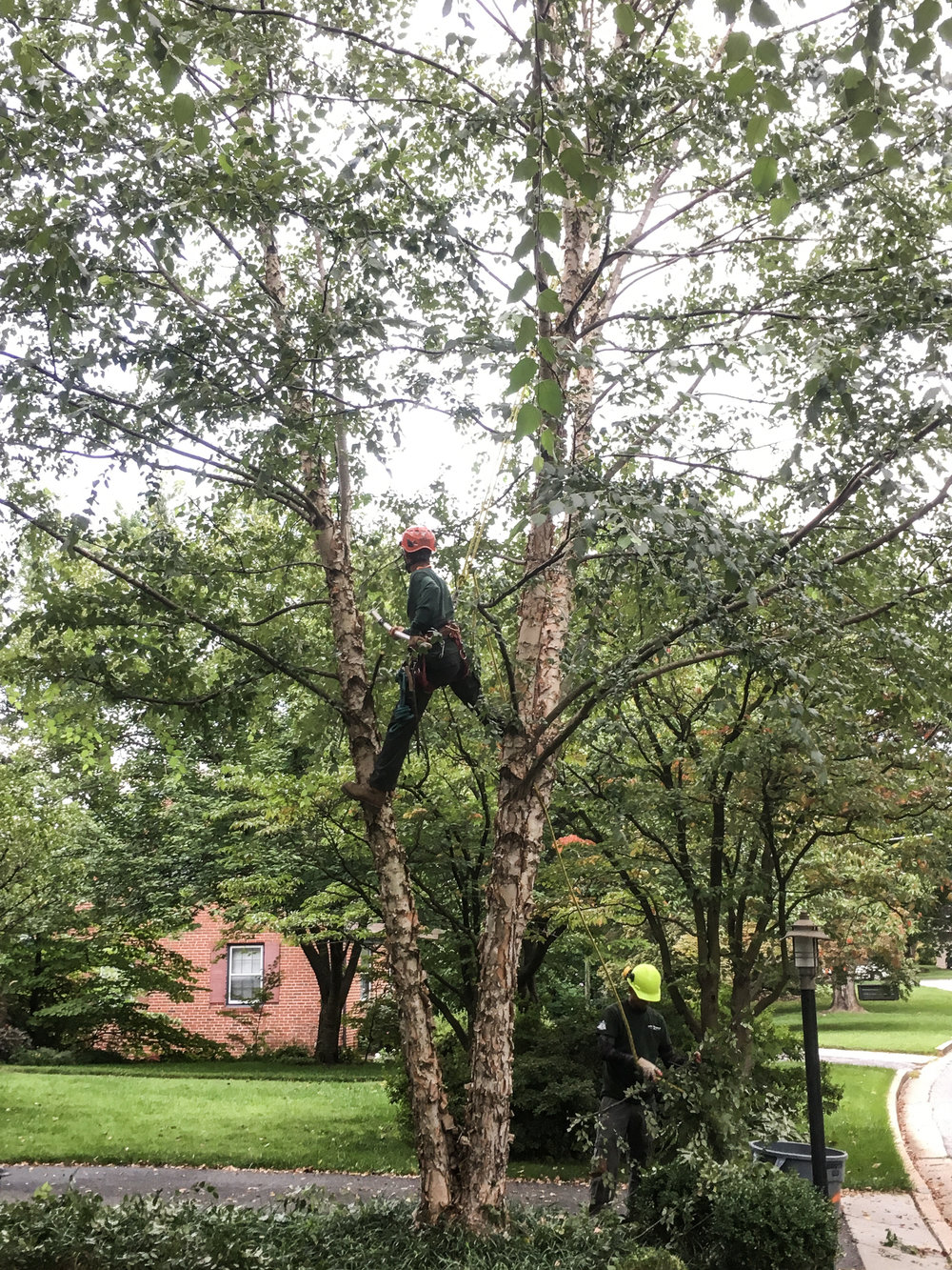 pruning river birch (towson) 2-1.jpg