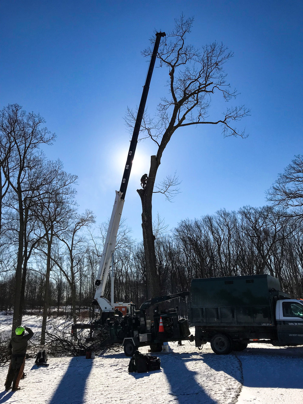 hank and gus red oak removal 1 (balt country club)-1.jpg