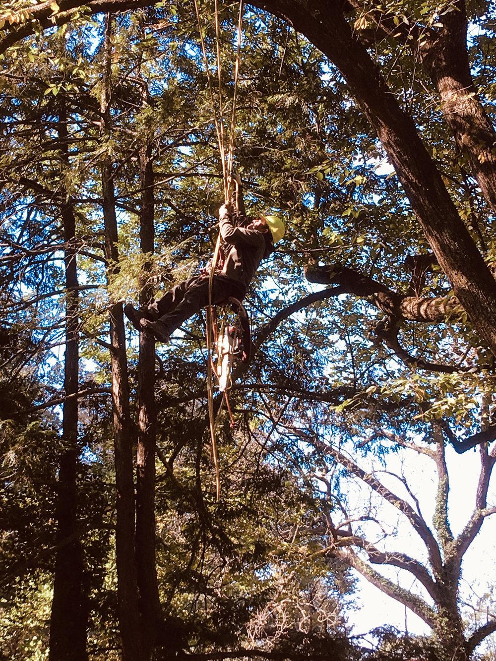 pruning elm 1 (bmore)-1.jpg