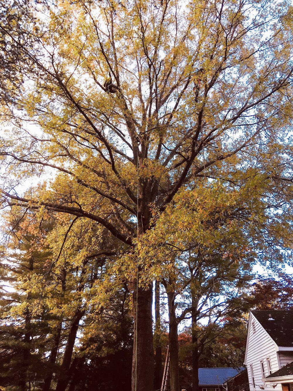 pruning pin oak (towson)-1.jpg