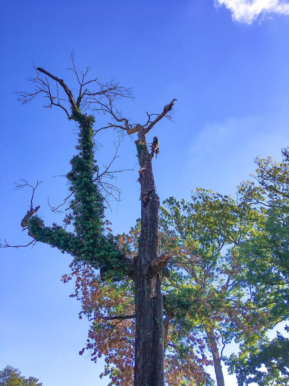 oak removal 4 (catonsville)-1.jpg