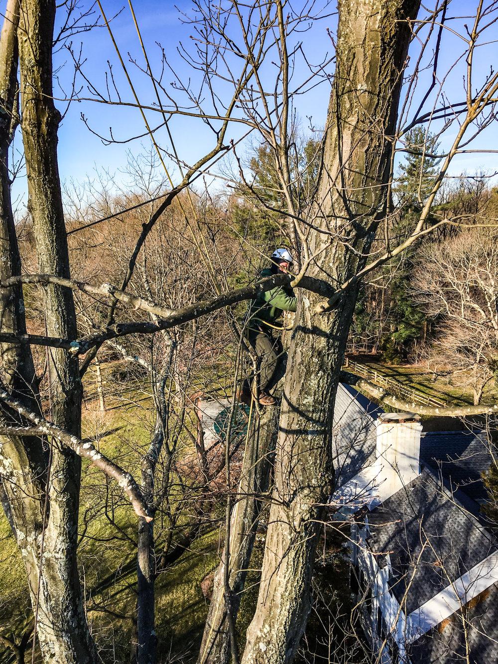 pruning large red oak (stevenson)-1.jpg