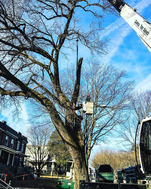BGE Emergency Elm Tree Removal (Feb 2019) 📷: Dan • • • • • #elm #elmtree #tree #trees #treeremoval #treecutting #treework #treeclimbing #treeclimber #treecare #treesafety #treeservice #treetrimming #treeexperts #treesurgeon #treesurgery #treepruning #pruning #stumpremoval #crane #craneremoval #chainsaw #arborist #arborists #arboriculturist #arboristsofinstagram #bge #baltimore #maryland #carrolltreeservice