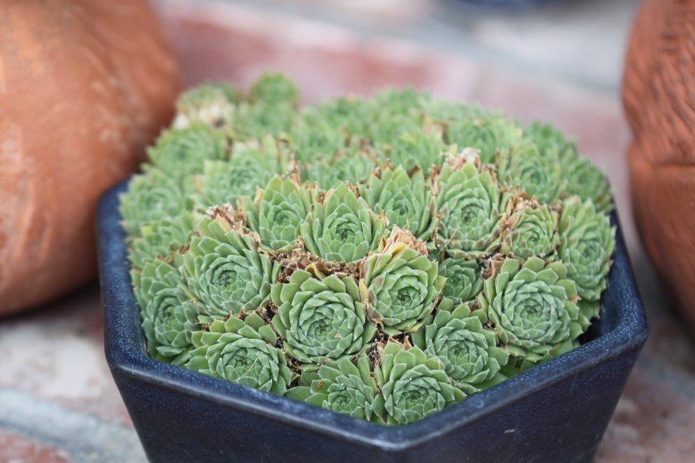 succulent love.