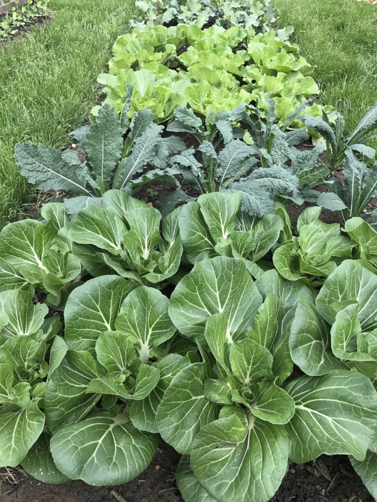 Bok choy, Lacinato kale, and Rubicon Chinese cabbage early May (planted out under row cover in late March).