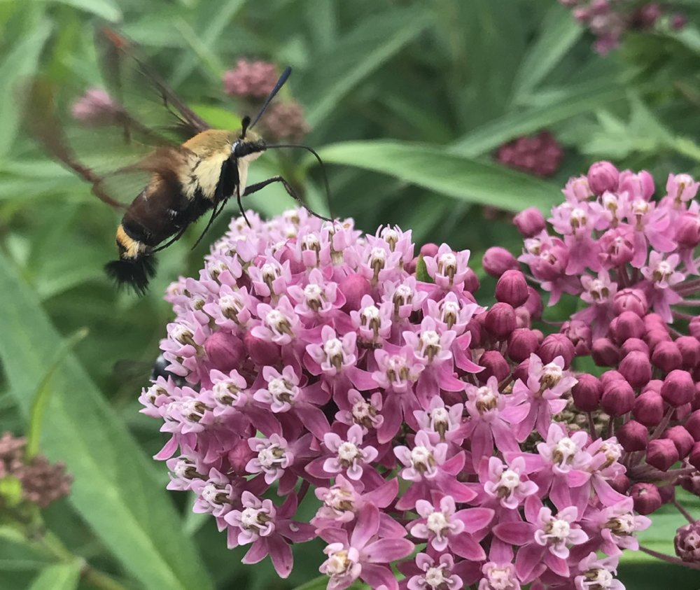 In addition to loving monarchs, this amazing moth is one of my other favorite insects to attract to my garden. I was delighted last summer to see one here in our new very small prairie remnant. Seen here the hummingbird clearwing moth is filling up on the rose (swamp) milkweed nectar. This milkweed is a fast and prolific spreader, so if that's a concern, I'd use caution in planting it in your yard. We let it do it's thing with wild abandon here. And we are thanked with visitors as graceful as this one. It's worth it.