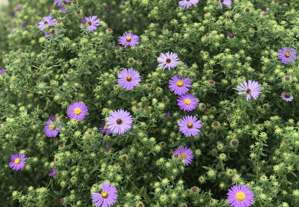 Aromatic aster blooms for us well into October and this single plant was a mere 1 gallon container in 2016. I've already divided it and started a second prairie remnant with it in another area adjacent to our vegetable garden.