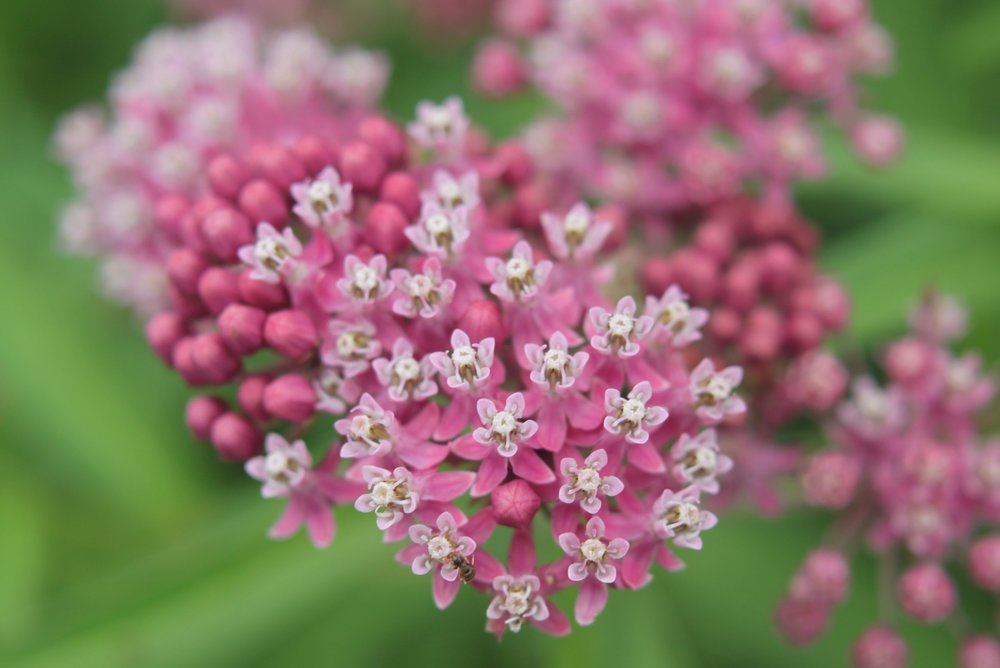 Rose or swamp milkweed is a hardy plant that matures quickly and provides monarchs a place both feed both on nectar and lay their eggs. It is also an incredible nectar source for so many  beneficial and beautiful insects in mid to late summer.