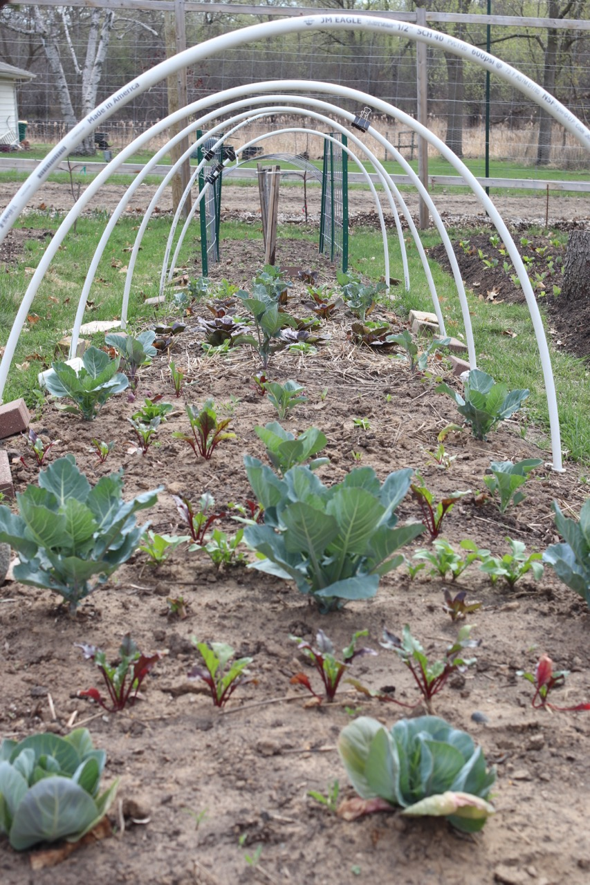 Instead of giving the brassicas their own space, this season they are sharing square footage with beets (pictured here in the foreground), head lettuce, and arugula. This way, all our spring beets and lettuce plantings are sharing space which frees up other beds for ... more food!