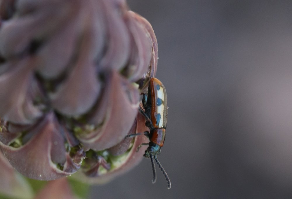 An adult common asparagus beetle undoubtedly either searching for a mate or for the ideal location for egg laying.