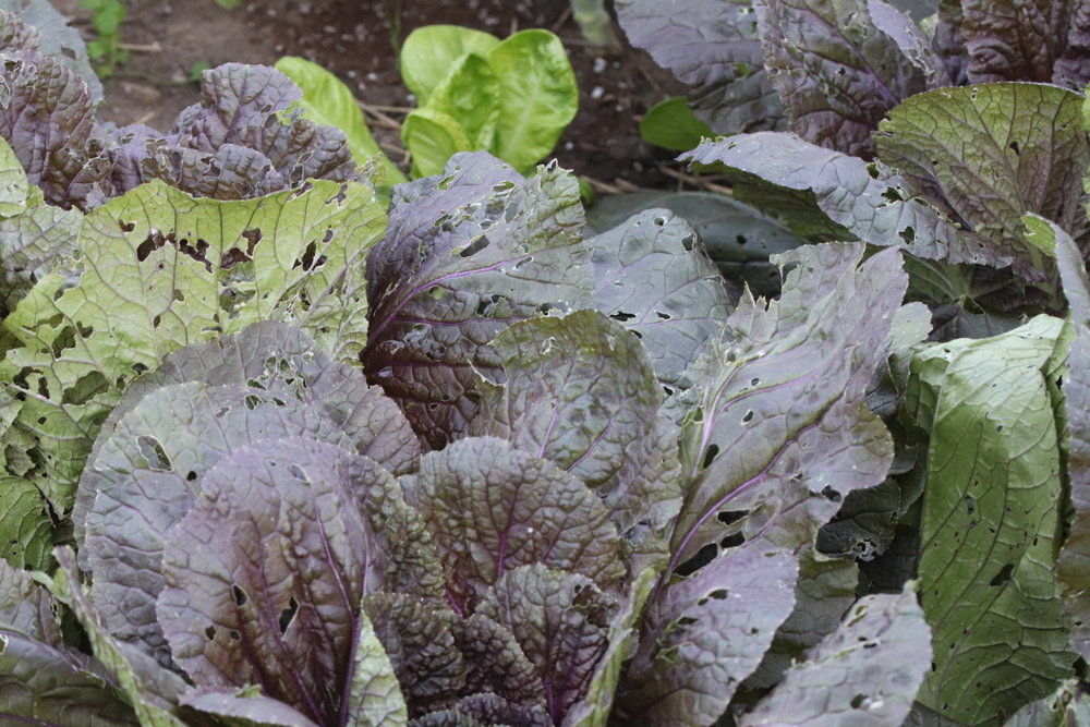I overlooked small holes last month while these cabbages were - and still are - under row cover. At the time, I didn't see the culprit, but they were there the whole time.