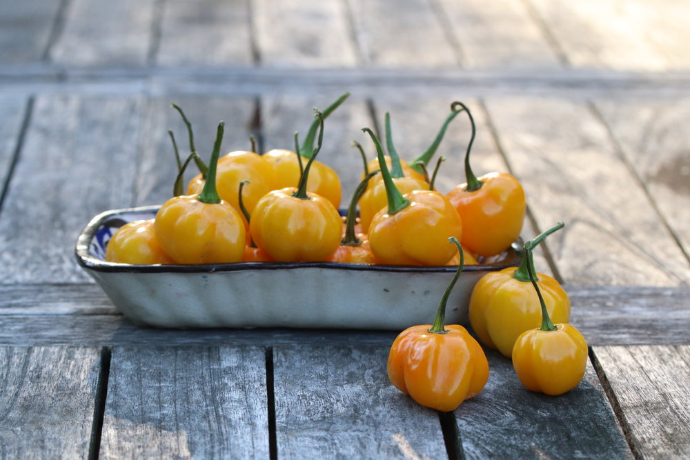 Gorgeous summer light hitting a heaping handful of habaneros. As beautiful as they are, we just don't use them culinarily and will be minimizing their presence this year as we shift focus to spices.