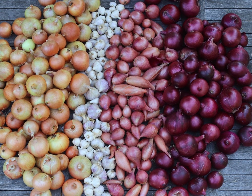 Between shallots, red, and yellow onions, we harvested over 200 of these kitchen essentials and have about half left as of this writing.