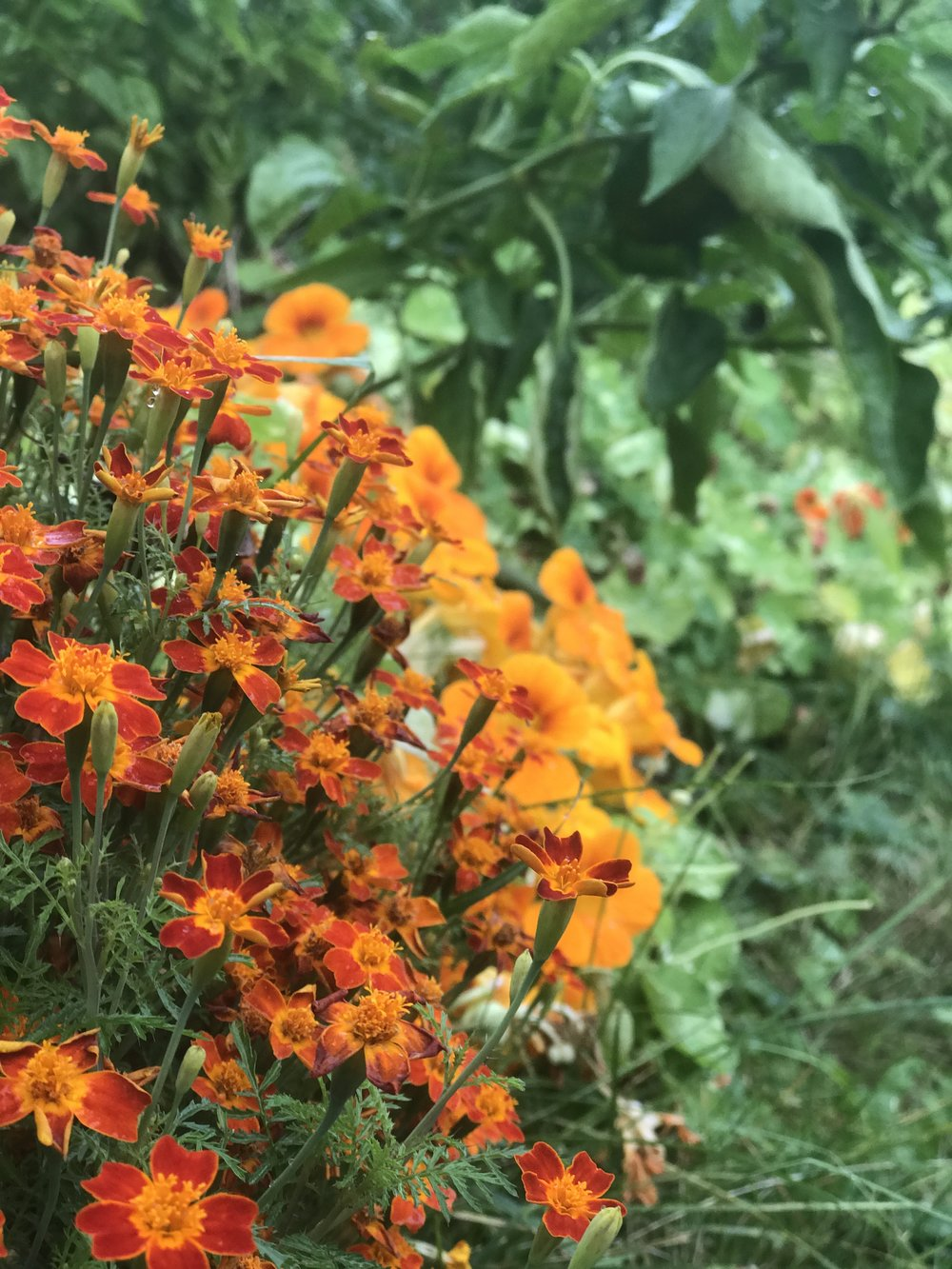Mexican marigolds and Alaska nasturtiums in our pepper and tomato bed.