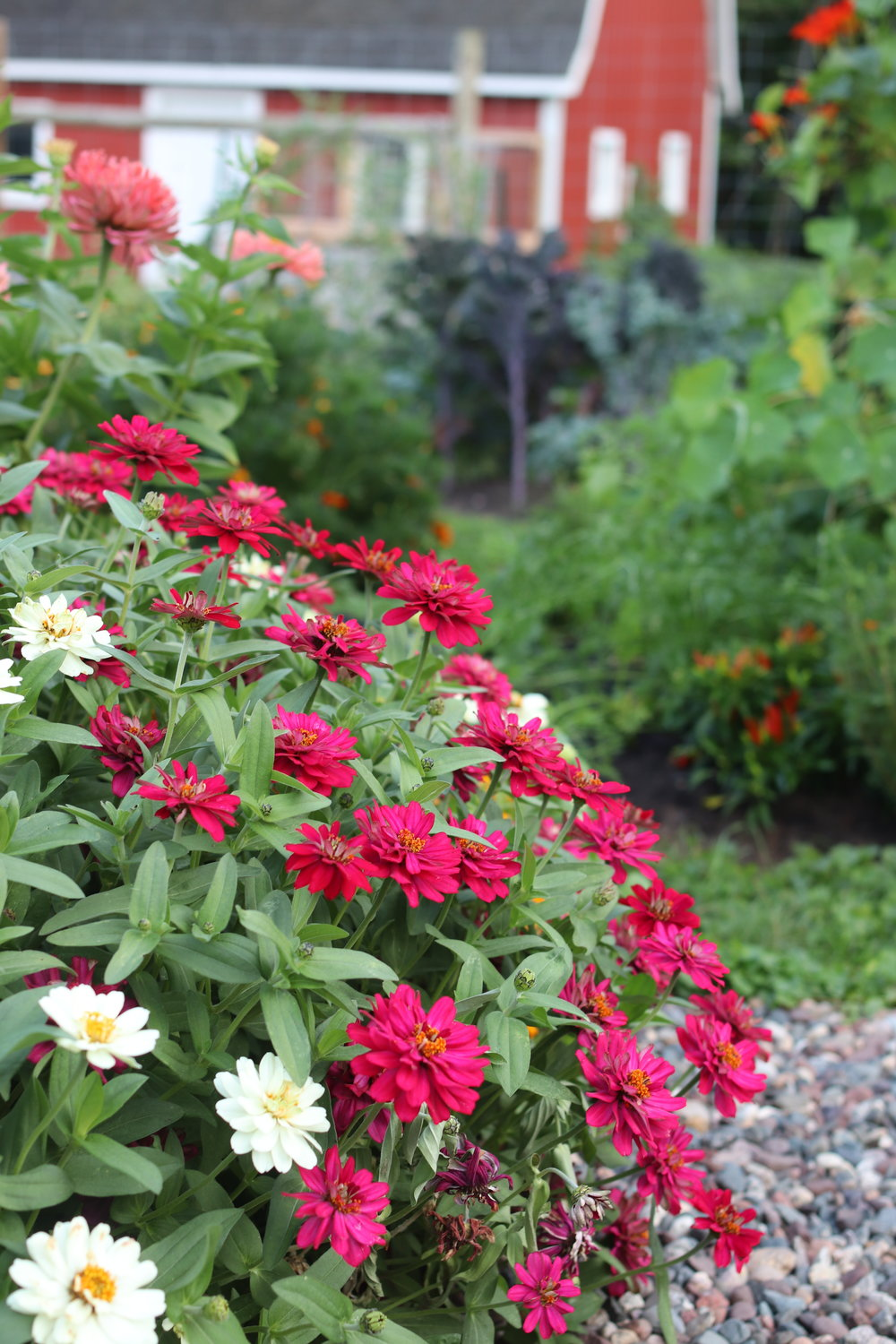 Profusion zinnia are my favorite border zinnia on our patio and along our other zinnia beds. It matures into a beautiful massing by August.
