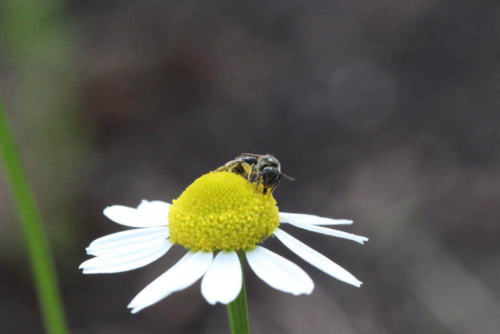 I'm not sure what species this is, but our chamomile had visitors all the time.