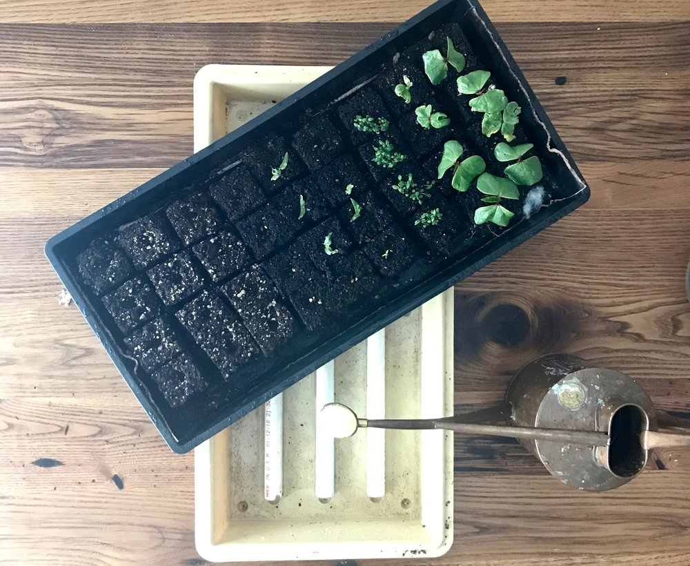 FIll the bottom of the perma tray with spring, well, or dechlorinated tap water until true leaves emerge and then transitioning to a light (half the recommended dose) of liquid organic fertilizer. Keep an eye on the trays every other day as dry indoor conditions will result in dry blocks within 48 hours.