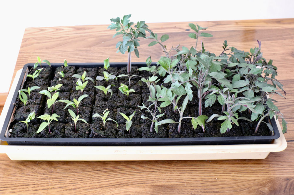 I always sow my tomatoes and peppers together, and they always end up growing at different rates. One of these years I may sow a tray of each, but we are limited by the number of lights we have so I cram as many soil blocks into each tray as I feasibly can, which is maxed out at 50.