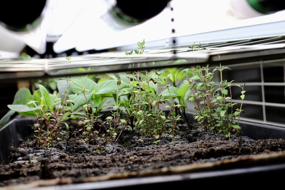 Keep those lights close to those plants to minimize etiolation and give them as near outdoor light conditions as you possibly can in this indoor setup.