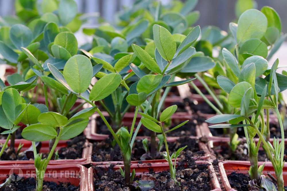 """I sowed 2 seeds per 3"""" pot in late April and this is what they looked like within two weeks of sowing. An extra early start will help ensure enough warm summer days (and nights) for nut production."""