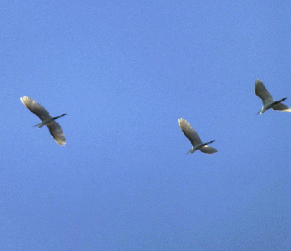 alisonpothier_egrets