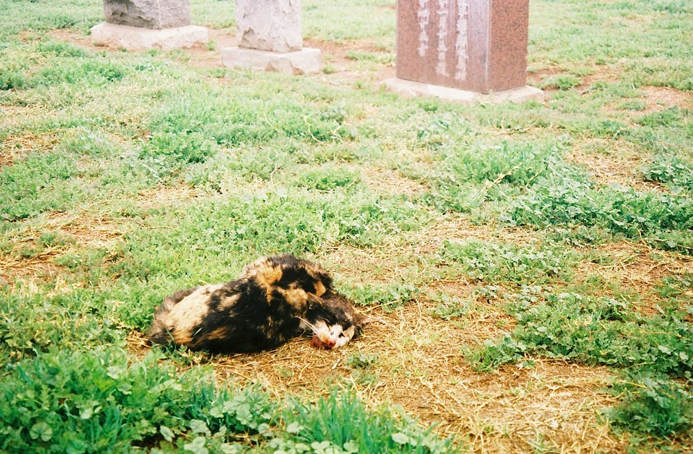 The coyotes use the cemetery and surrounding neighborhood as a hunting ground. This coyote is just returning to the cemetery with a dead cat, and the cat's cadaver suggests that it was caught and killed by the coyote, rather than picked up as roadkill.