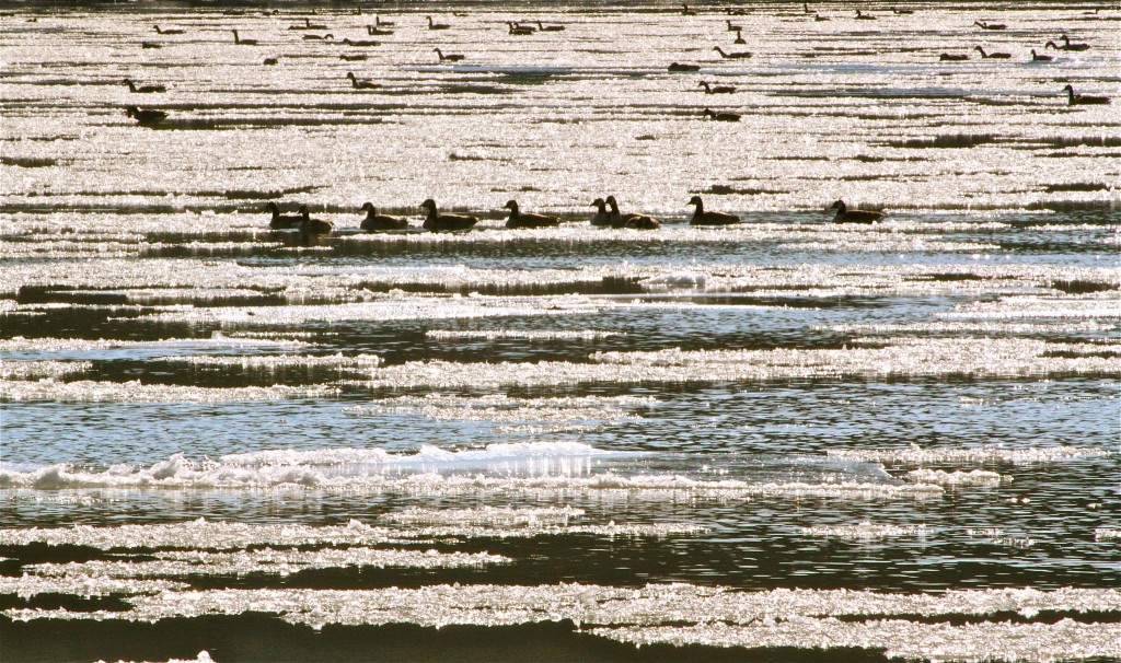 Geese hanging in the ice flow.