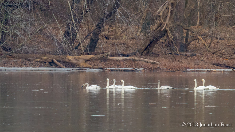 With the ice melted, we have the annual visitation of Arctic Tundra Swans.  Last year we had about 40 for quite a few weeks.  I floated on my board quite close to them and was surprised and touched by how much soft chatter there was between them.  Quite an intimate tribe.