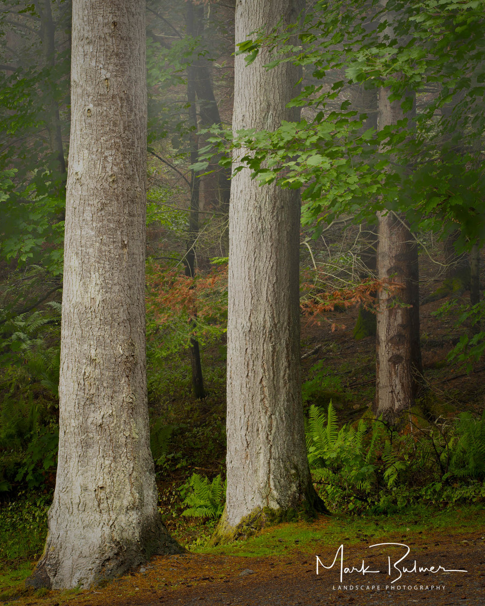 Woodland Trees Dodd Wood Cumbria
