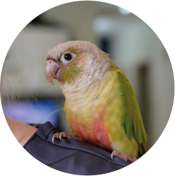 TWO TOES  CHATTER BOX  Two Toes, named for the number of toes he has in his possession, has been with us for a few years now. Like all birds, he loves talking and will chat to anyone within range. You'll find him on a shoulder of one of our staff, probably Ashley.