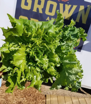 GrownAndGrazed_EstesFarms_Lettuce