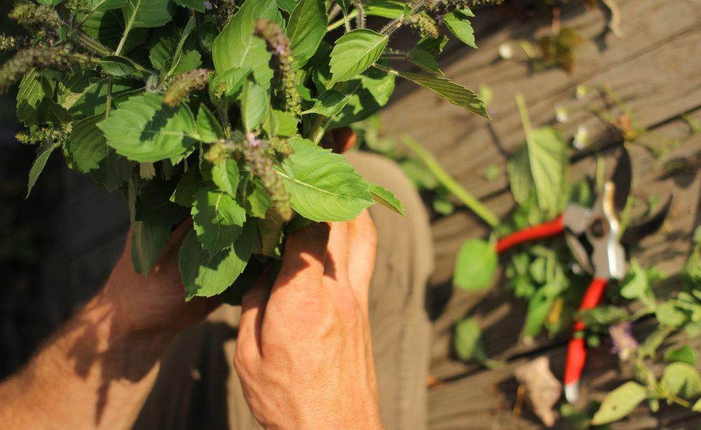 freshly harvested tulsi (sacred basil)