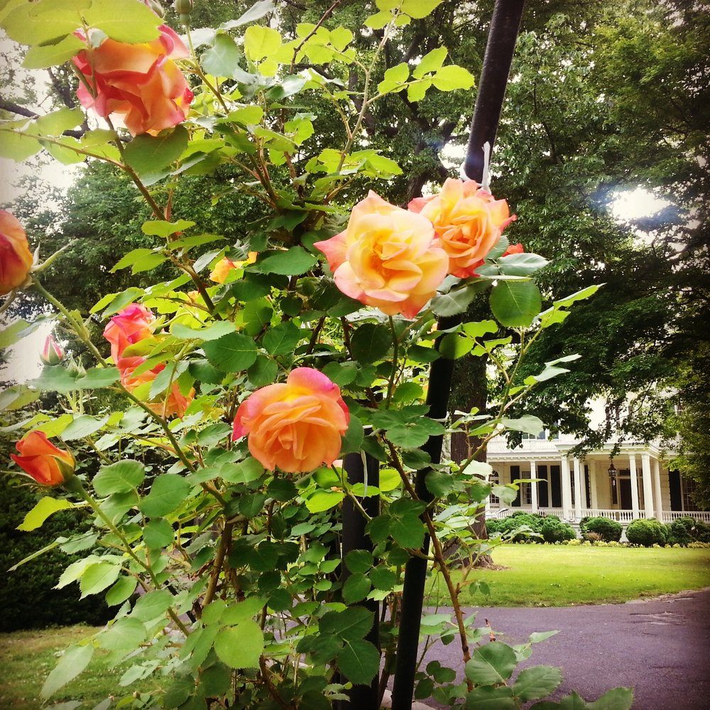 summer rose garden 2014 mansion background.jpg