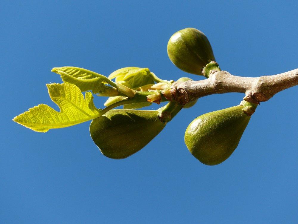 figs-357683_1920.jpg